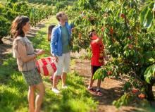 С какими фруктовыми деревьями можно сажать рядом вишню?