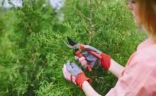 Размножение туи черенками: особенности процесса и рекомендации