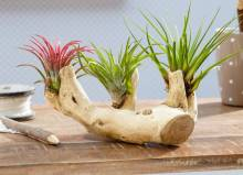 Цветы без корней: способы выращивания тилландсии, советы  и особенности ухода
