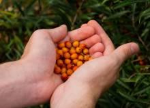 Как сажать облепиху семенами: правила и советы