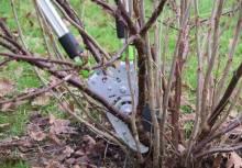 Уход за черной смородиной осенью: что делать и как подготовить кустарники к зиме?