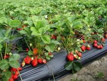 Посадка клубники на агроволокно весной: советы и нюансы процесса
