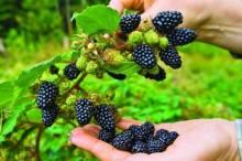 Посадка ежевики весной: как сделать это правильно, чтобы получить хороший урожай?