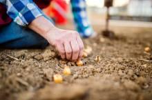 Посадка лука севка весной: как подготовится и выполнить работы?