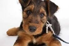 Как приучить щенка к поводку и ошейнику?