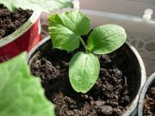 Посадка кабачков на рассаду весной: когда сажать и как это сделать?