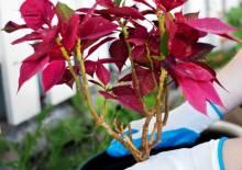 Пуансеттия: как ухаживать за рождественским растением дома?