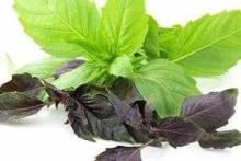 Базилик: польза и вред, применение в кулинарии и народной медицине