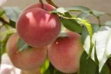 Как вырастить персик из косточки: сладкое чудо на участке и в квартире