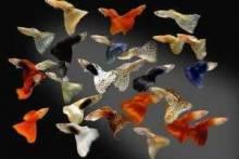 Далекая родина рыбки гуппи – самого неприхотливого обитателя аквариума