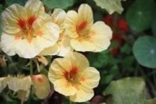Настурция: посадка и уход на садовом участке и в домашних условиях