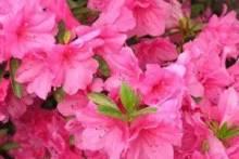 Азалия: как ухаживать, чтобы она радовала долгим и пышным цветением?