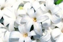 Гиацинт отцвел: что делать в домашних условиях, можно ли добиться повторного цветения