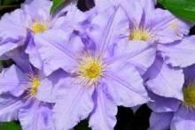 Клематис: размножение черенками весной, летом и осенью