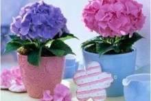 В ожидании шикарных цветов — какой уход нужен гортензии в домашних условиях