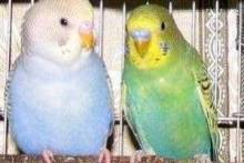 Как отличить попугая мальчика от девочки?