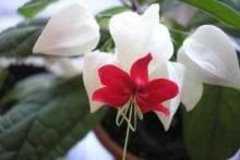 Гость из жарких тропиков – клеродендрум: уход в домашних условиях, советы по выращиванию и размножению