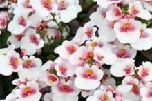 Немезия: выращивание из семян на садовом участке и дома на балконе