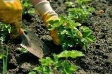 Как вырастить клубнику в теплице, в мешках, в открытом грунте?
