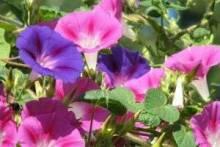Ипомея: посадка и уход за великолепной разноцветной лианой