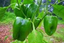 Когда сажать перец: дельные советы дачникам огородникам