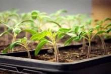 Когда сажать рассаду помидор: советы дачникам
