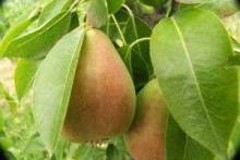 Груша: польза и вред для человека, кому можно есть этот фрукт, а кому нельзя, а также уникальные свойства сушеной груши