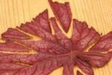 Как размножить бегонию листовыми черенками?