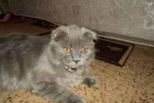 За что вы полюбите шотландскую вислоухую кошку?