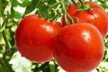 Как вырастить помидоры на подоконнике: самые вкусные томаты в домашних условиях