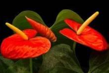 Комнатный цветок «мужское счастье»: уход, размножение, борьба с вредителями