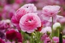 Удобрения для садовых цветов: петуний, гортензий, роз, лилий, клематисов, ирисов
