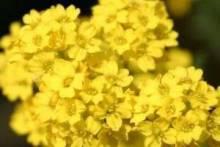 Жемчужина летнего сада алиссум: посадка и уход