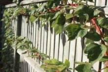 Шпалера для винограда своими руками: размеры, разновидности, советы по изготовлению