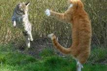 Как поступать хозяевам, если кошки дерутся?