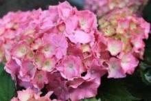 Гортензия садовая: посадка и уход, советы по выращиванию и размножению