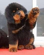 Щенок тибетского мастифа. Сколько стоит?
