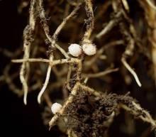 Клубеньковые бактерии: группа симбионтов