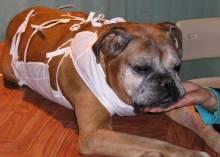Особенности операции и восстановление собаки после стерилизации