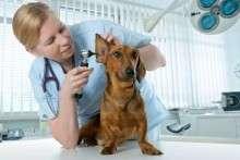 Отит у собак: симптомы и лечение, фото