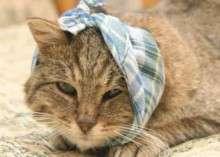 Отит у кошек: симптомы и лечение