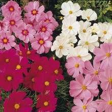 Космея и посадка, уход в открытом грунте садового цветка