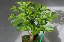 Родина кофейного дерева, способы его выращивания в домашних условиях