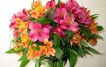 Южноамериканский гость или многолетний цветок альстромерия