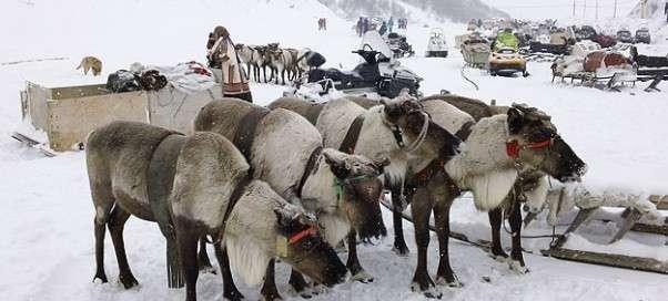 Cеверные олени: разведение в России