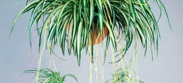 Хлорофитум хохлатый. Как размножается, почему болеет и как правильно пересадить?