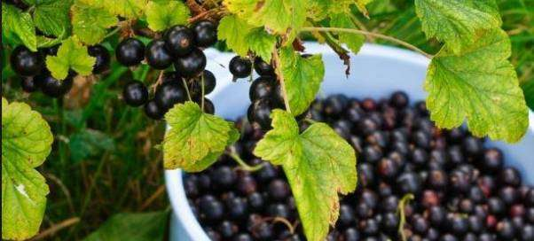Чем подкармливать черную смородину весной, летом и осенью?