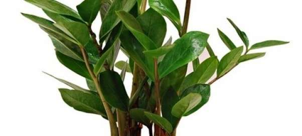 Замиокулькас: уход и размножение в домашних условиях