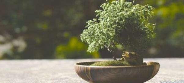 Посадка и особенности выращивания бонсай из дуба