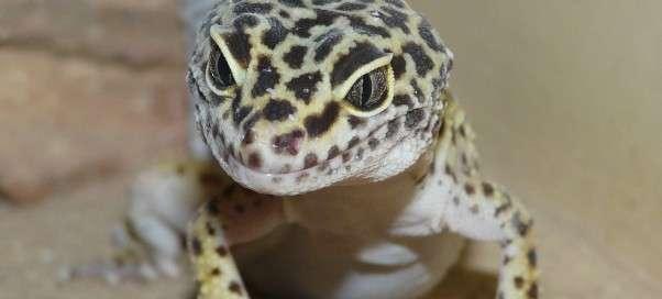 Пятнистый эублефар: содержание самок и самцов в домашних условиях